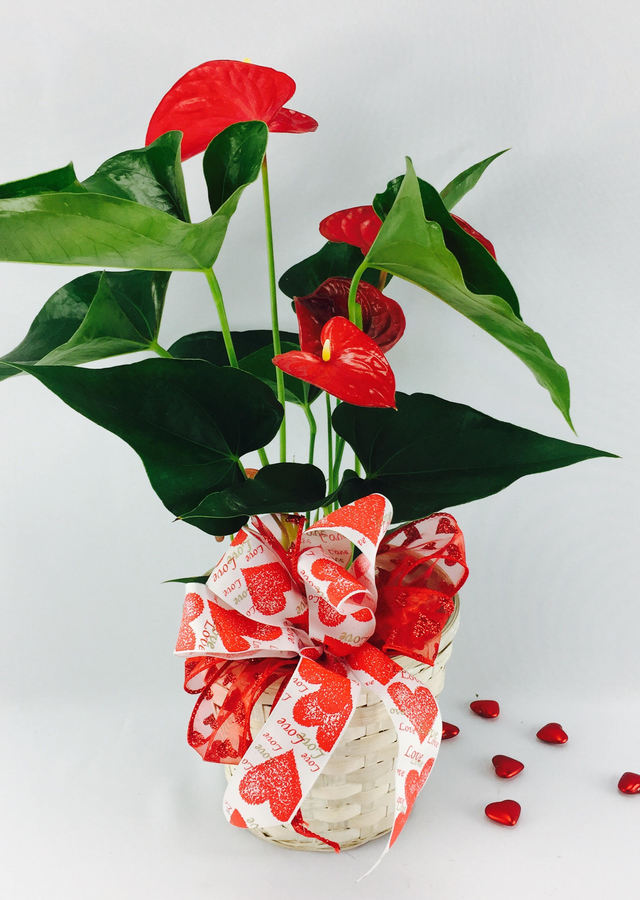 "A Valentine Anthurium: The ""Heart, Passion, Love"" Plant by The Flower Alley"