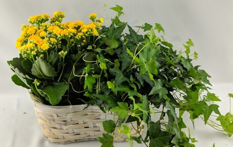 Display of Beautiful Kalanchoe & Ivy Basket by The Flower Alley