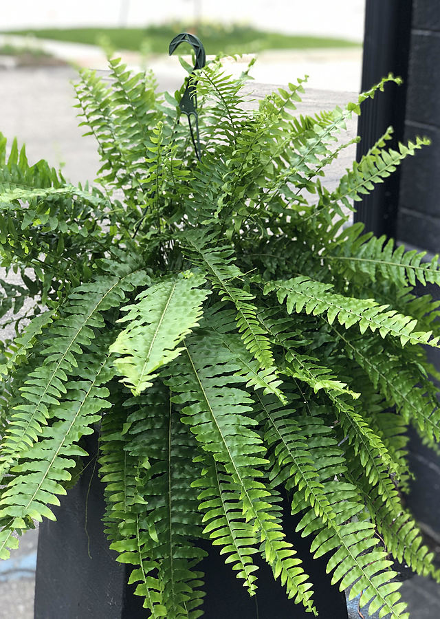 Display of Boston Ferns by The Flower Alley