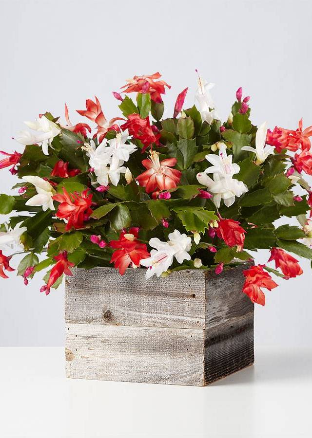 Display of Christmas Cactus by The Flower Alley