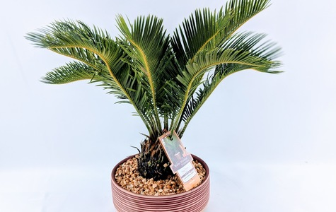 Display of Desk Top Sago Palm by The Flower Alley