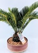 Desk top sago palm thumb