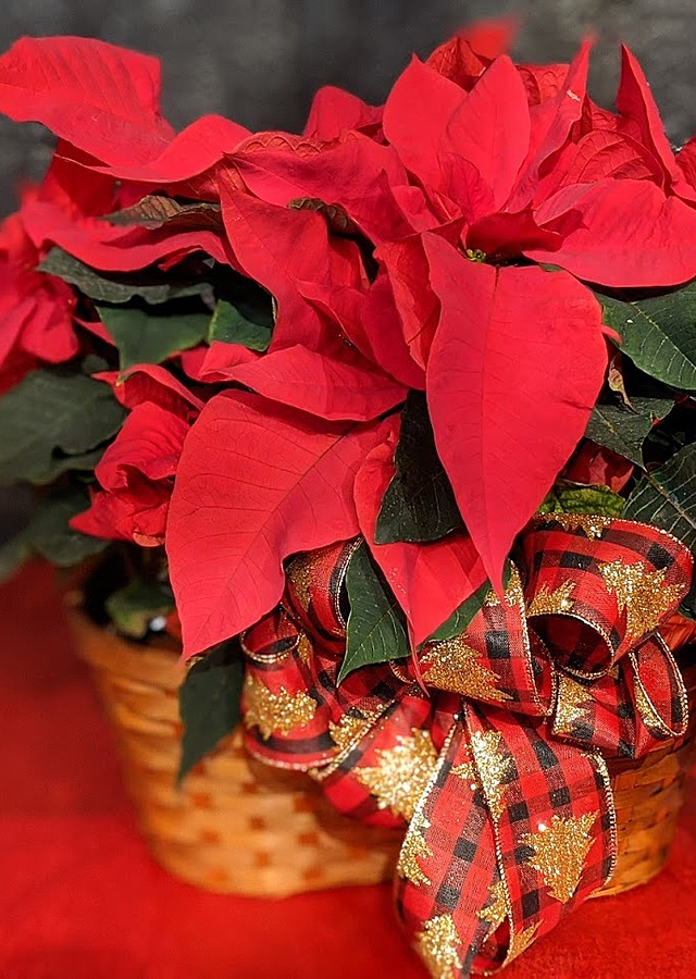 Display of Double Michigan Grown Poinsettia by The Flower Alley
