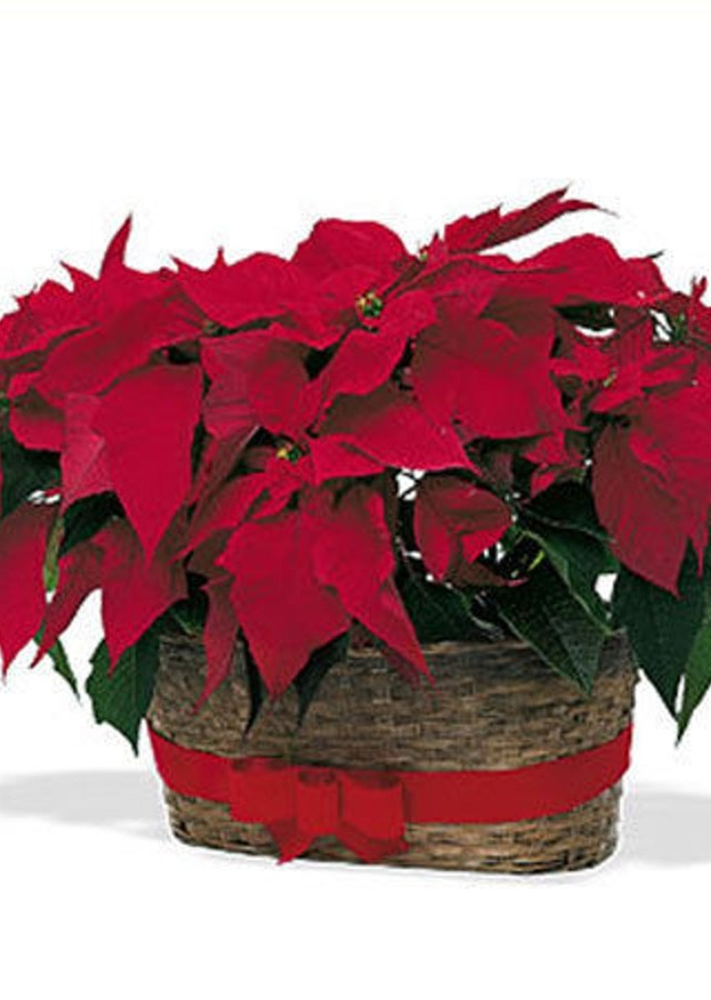 Display of Double Poinsetta Basket by The Flower Alley