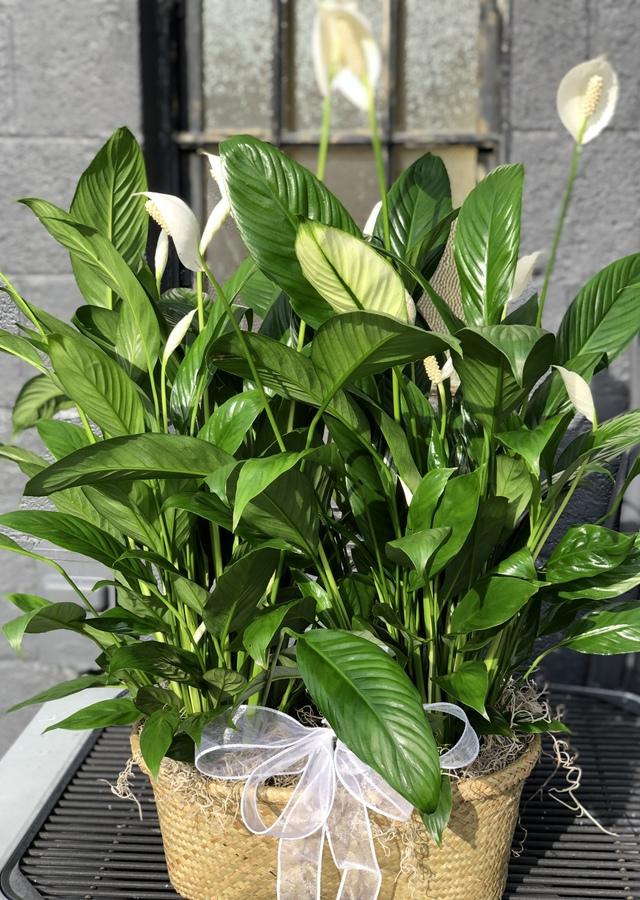 Display of Double Potted Peace Lily by The Flower Alley