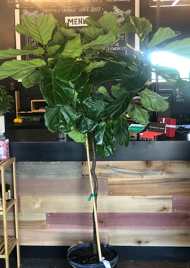 Display of Fiddle Leaf Fig Tree 6ft by The Flower Alley
