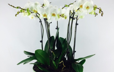 Display of Angelic White Multiple Phalaenopsis Orchid by The Flower Alley