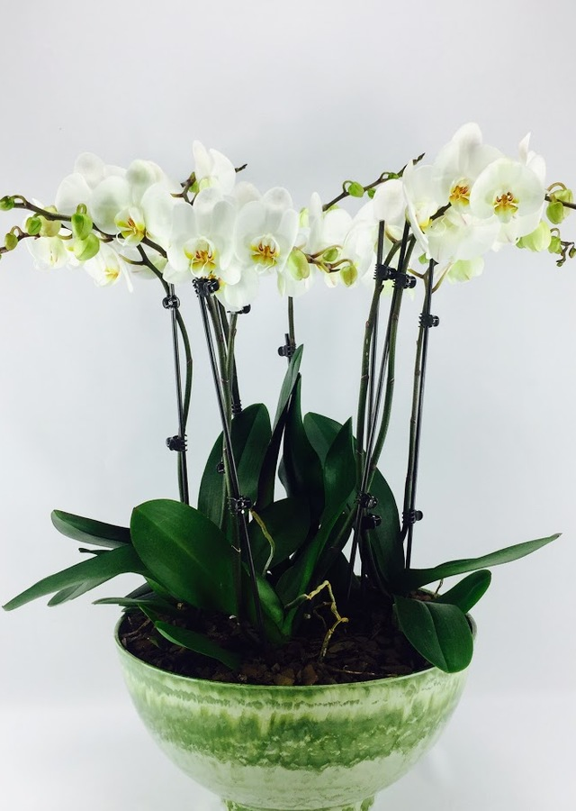 Display of White Phalaenopsis Orchid - SALE by The Flower Alley