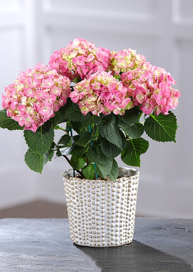 Display of Hydrangea Plant in Container by The Flower Alley