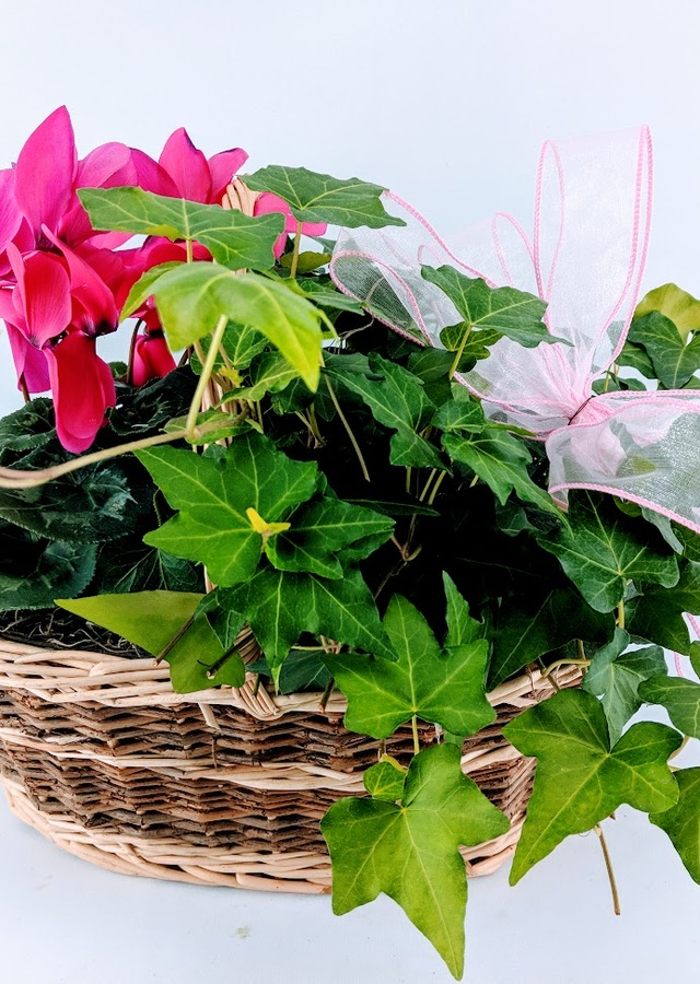 Display of Lovely Cyclamen & Ivy Basket by The Flower Alley