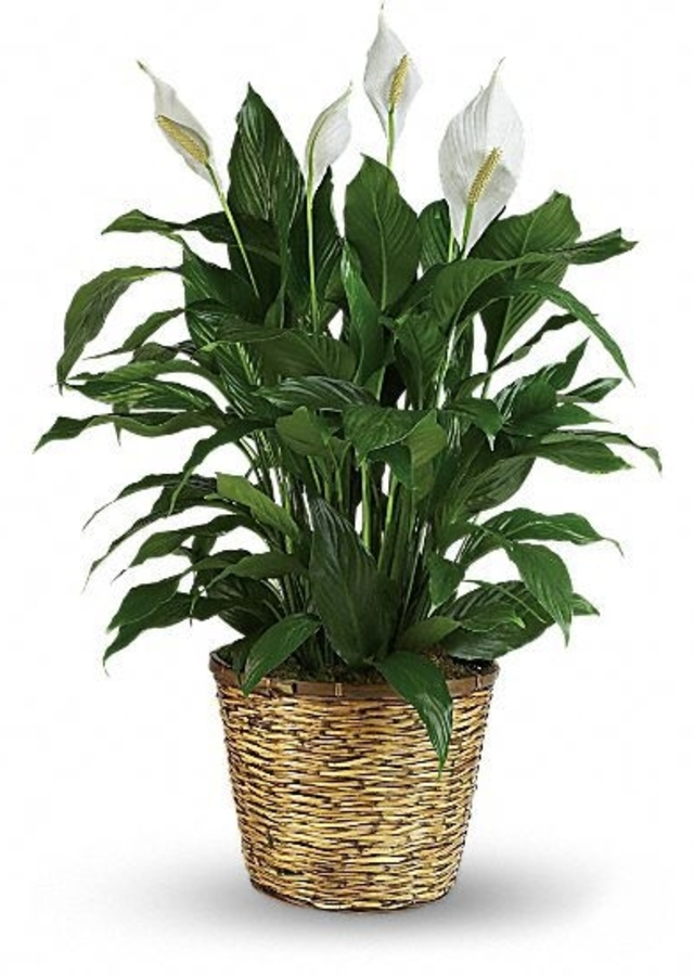 Display of Peaceful Lily Plant - Save $10 by The Flower Alley