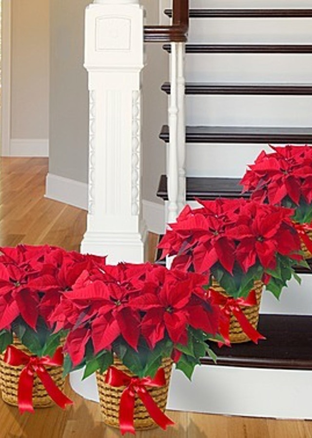 Poinsettia Grouping - Set of (4) by The Flower Alley