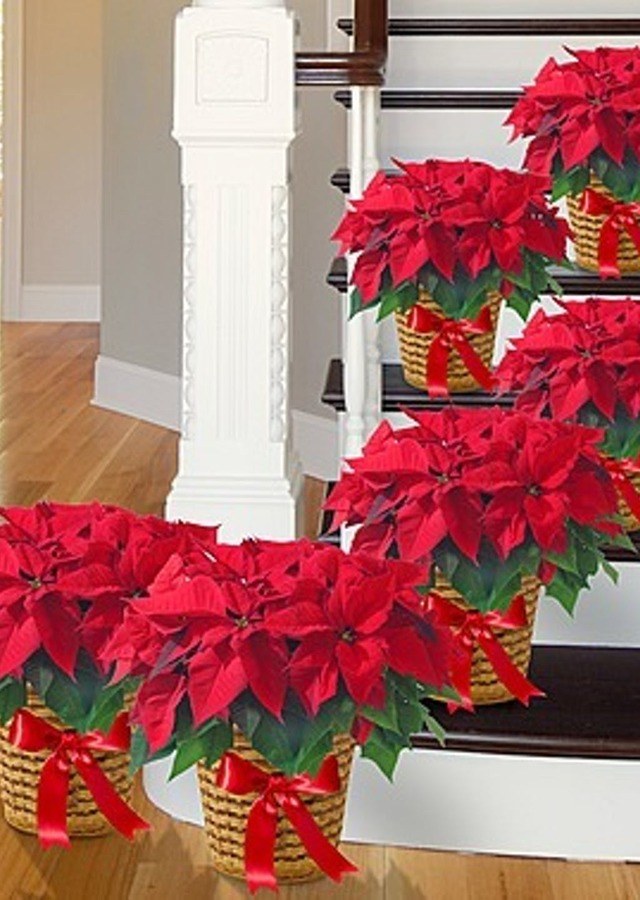 Display of Poinsettia Grouping - Set of (6) by The Flower Alley