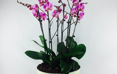 Display of Royal Purple Multiple Stem Phalaenopsis Orchid by The Flower Alley