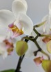 Serenity   peace double white orchid phalaenopsis plant. thumb