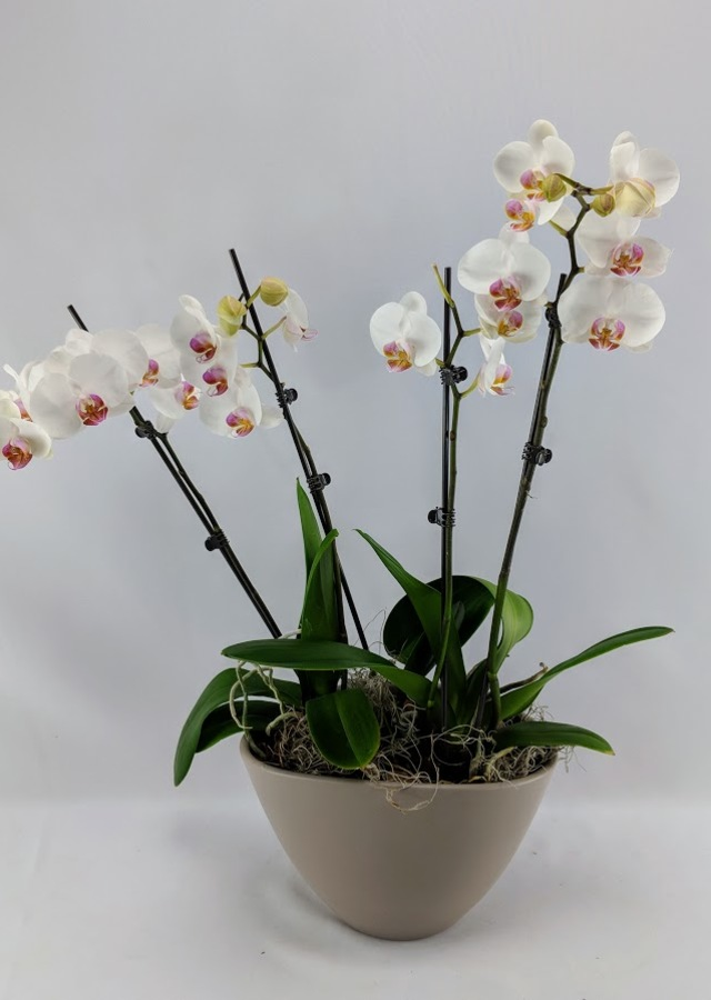Display of Serenity & Peace Double White Orchid Phalaenopsis Plant. by The Flower Alley