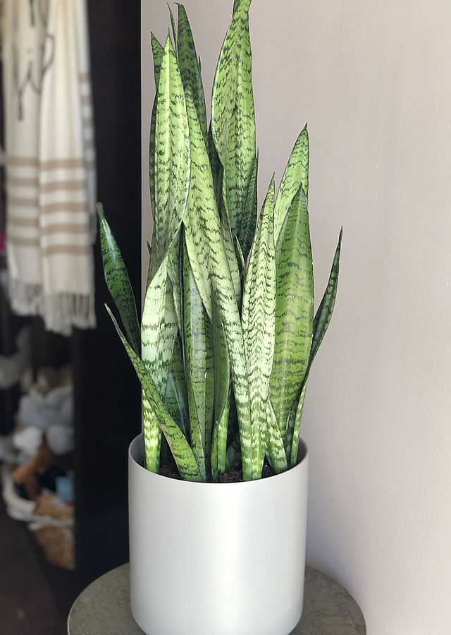 Display of Snake Plant by The Flower Alley